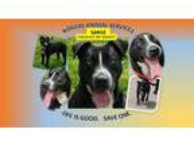 Adopt SARGE a Pit Bull Terrier, Mixed Breed