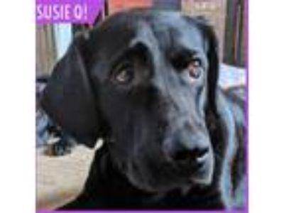 Adopt Susie Q a Black Labrador Retriever / Basset Hound dog in Palatine