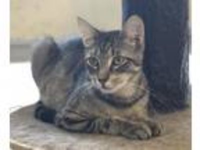 Adopt Alicia a Domestic Short Hair