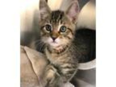 Adopt Pee Wee a Domestic Short Hair