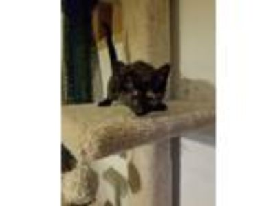Adopt Game of Thrones a Domestic Shorthair / Mixed (short coat) cat in O'Fallon