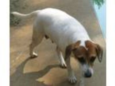 Adopt Lady Bird a Jack Russell Terrier, Beagle