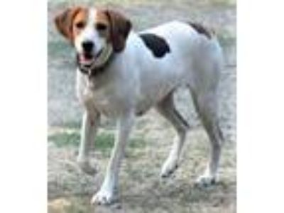 Adopt Rita, smart & social hound beauty! (Tacoma) a Treeing Walker Coonhound