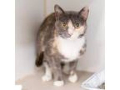 Adopt Lily a Gray or Blue Domestic Shorthair / Domestic Shorthair / Mixed cat in