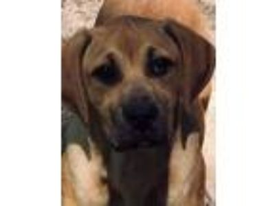 Adopt Goose - gorgeous puppy a Labrador Retriever