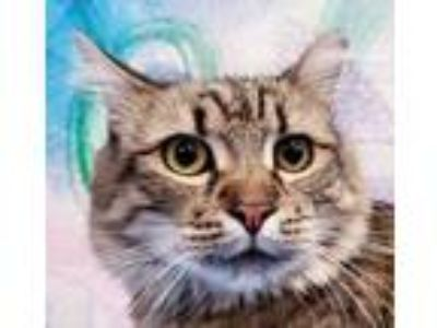Adopt Charlie a Brown or Chocolate Domestic Longhair / Maine Coon / Mixed cat in