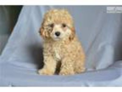 Prancer - Mini Poodle