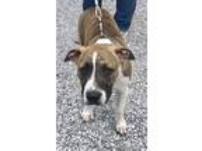 Adopt Vern a Brindle American Pit Bull Terrier / Mixed dog in Sparta