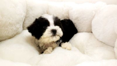 Shipoo Puppy - Male - Oreo ($1,299)