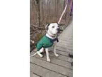 Adopt Monroe a American Staffordshire Terrier, Pit Bull Terrier