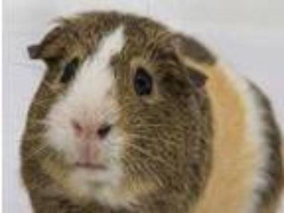 Adopt Fiesty a Silver or Gray Guinea Pig / Guinea Pig / Mixed small animal in