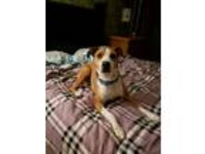 Adopt Dana a Red/Golden/Orange/Chestnut - with White American Pit Bull Terrier /