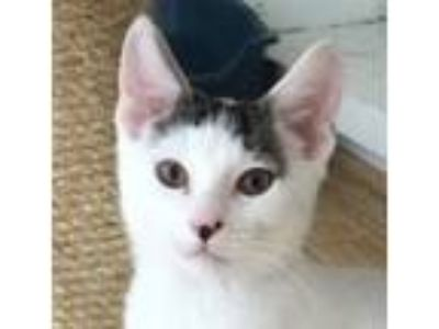 Adopt Nate a White (Mostly) Domestic Shorthair / Mixed (short coat) cat in