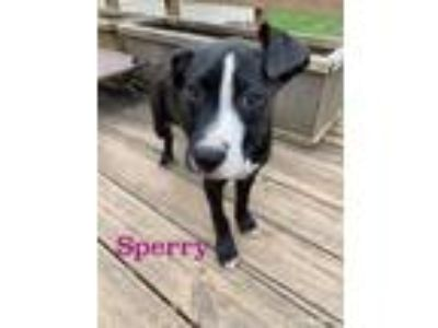 Adopt Sperry a Boxer, Staffordshire Bull Terrier