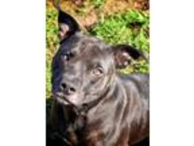 Adopt BABY GIRL a Staffordshire Bull Terrier