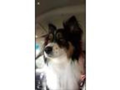 Adopt Mowgli a Tricolor (Tan/Brown & Black & White) Australian Shepherd / Mixed