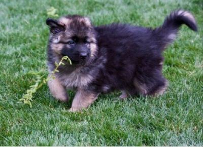Long Coat Sable and Black German Shepherd Puppies