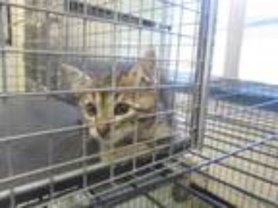 Adopt Buckley a Brown or Chocolate Domestic Shorthair cat in Weatherford
