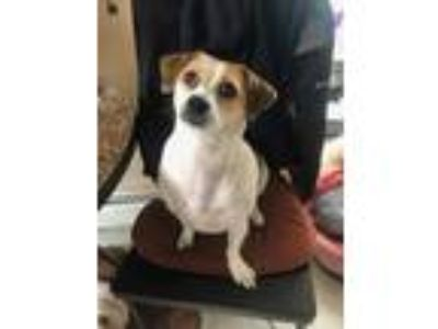 Adopt Lucy a White - with Red, Golden, Orange or Chestnut Beagle / Pug / Mixed