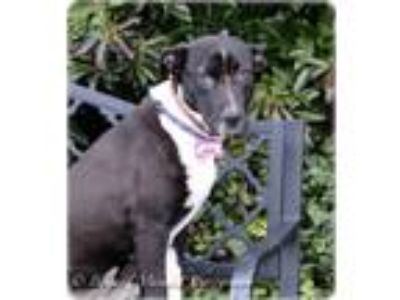 Adopt Mabel a Labrador Retriever