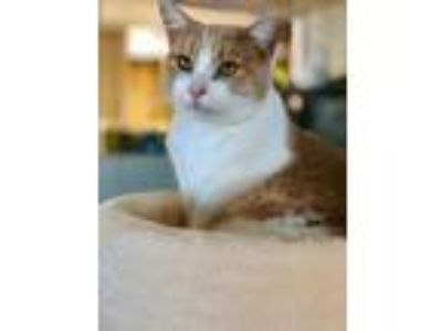 Adopt Izzy a Orange or Red Domestic Shorthair / Domestic Shorthair / Mixed cat