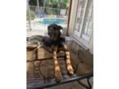 Adopt Shango a Black - with Tan, Yellow or Fawn German Shepherd Dog / Doberman