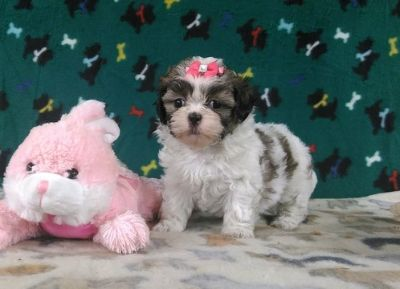 Shih Tzu PUPPY FOR SALE ADN-89966 - AKC Shih Tzu Puppy