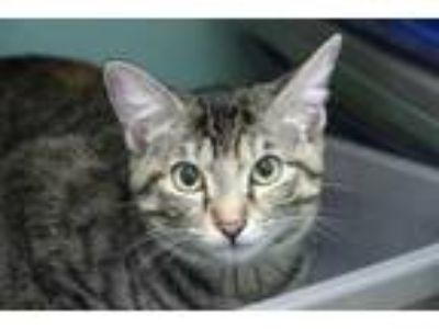 Adopt Ziva a Gray or Blue Domestic Shorthair / Domestic Shorthair / Mixed cat in