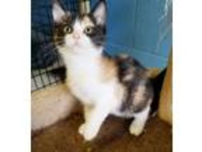 Adopt Tiger Lily a Calico / Mixed (short coat) cat in Boston, KY (25827287)