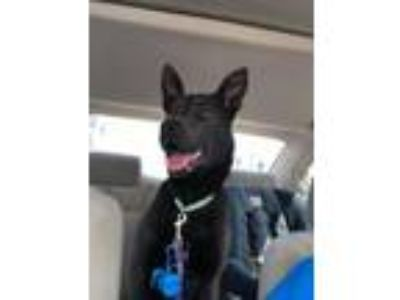 Adopt Prince William a Black Shepherd (Unknown Type) / Mixed dog in St.Ann