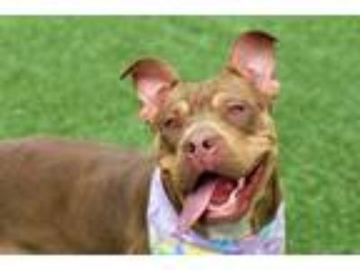 Adopt Roxy Nikita a Brown/Chocolate Mixed Breed (Large) / Mixed dog in West
