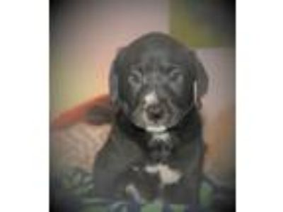 Adopt Frisco a Labrador Retriever, Plott Hound