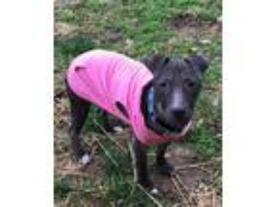 Adopt Addison a Black Labrador Retriever / Pit Bull Terrier / Mixed dog in