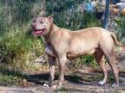 Adopt Tonka a American Staffordshire Terrier