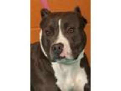 Adopt Cosmo a Pit Bull Terrier