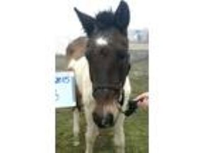 Adopt Minuet a Paint Paint/Pinto horse in Hitchcock, TX (16370959)