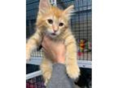 Adopt Garfield a Orange or Red Domestic Longhair / Domestic Shorthair / Mixed