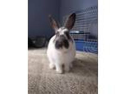 Adopt Richard a White English Spot / Mixed (short coat) rabbit in Aurora