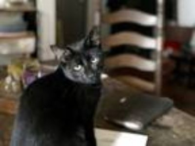Adopt Jaime a Black (Mostly) Domestic Shorthair (short coat) cat in New York
