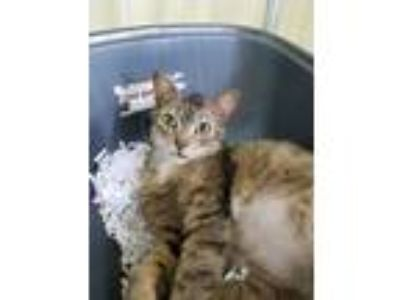 Adopt Chicken Wing a American Shorthair