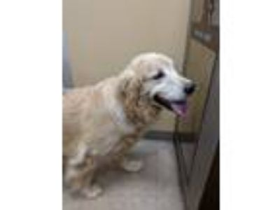 Adopt Bree a Tan/Yellow/Fawn Golden Retriever / Mixed dog in Charlottesville