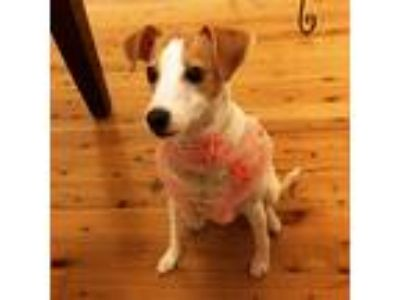 Adopt Soleil a Tan/Yellow/Fawn - with White Jack Russell Terrier dog in