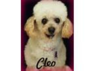 Adopt Cleo a White Toy Poodle / Mixed dog in Anaheim Hills, CA (24710345)