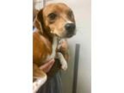 Adopt Valentina a Brown/Chocolate Beagle / Jack Russell Terrier / Mixed dog in
