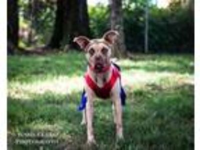 Adopt BLUE a Pit Bull Terrier, Boxer