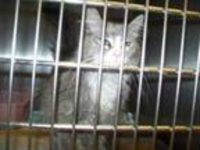 Adopt Shaun a Gray or Blue Domestic Longhair / Domestic Shorthair / Mixed cat in