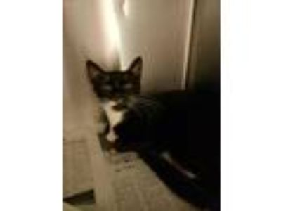 Adopt Tank a All Black Domestic Shorthair / Domestic Shorthair / Mixed cat in