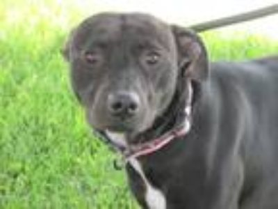 Adopt Rose a Black American Staffordshire Terrier / Mixed dog in Mount Sterling