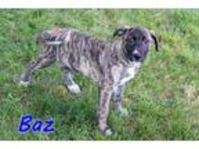 Adopt Baz a Brindle Mountain Cur / Mixed dog in Joliet, IL (25938050)