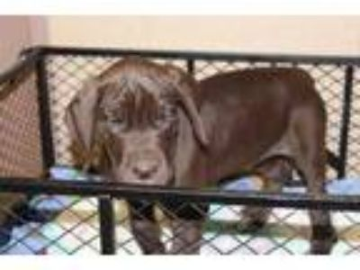 Adopt Twix a Brown/Chocolate Great Dane / Mixed dog in Albany, OR (25893664)